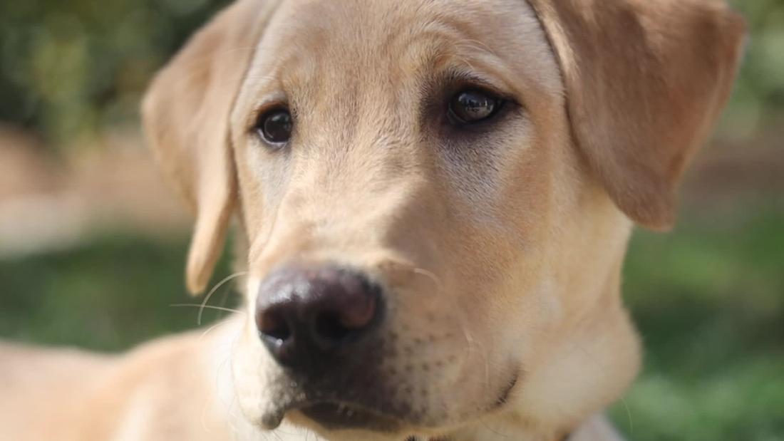 Una pareja de California estaba desconsolada por despedirse de su amado perro, Marley. Entonces lo clonaron
