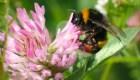 ¿Por qué están en peligro los abejorros?