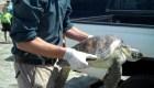 Estudio revela por qué las tortugas comen plásticos