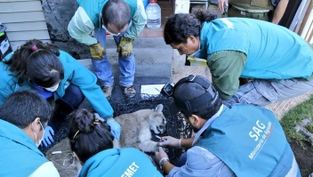 Capturan a puma salvaje deambulando por Santiago de Chile