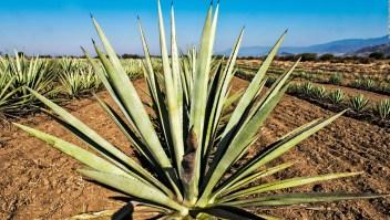 El tequila y el mezcal no curan el coronavirus, advierte AMLO
