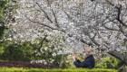 Los cerezos florecen en la zona cero del coronavirus