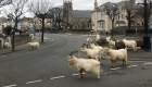 Cabras pasean por vecindario de Gales