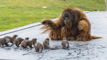 Zoológico comparte adorables fotos de orangutanes jugando con sus nutrias