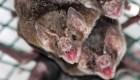El murciélago y su relación con los virus