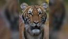 Coronavirus en Estados Unidos, hasta los tigres toman precauciones