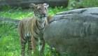 Un tigre dio positivo por coronavirus
