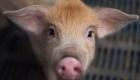 ¿Qué animales permitirá china para el consumo humano?