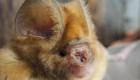 Descubren murciélagos relacionados con el coronavirus
