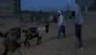 """Peleador del UFC se """"enfrenta"""" a una cabra"""