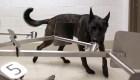 perros penn olfatean covid-19 dusa