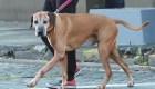¿Perros que pueden detectar enfermos con covid-19?