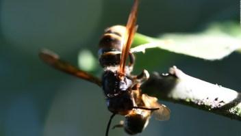 Cómo detener a los avispones gigantes invasores
