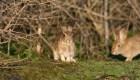 Descubren virus mortal: ataca a los conejos