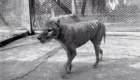 Video inédito muestra al último tigre de Tasmania