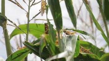 Plaga de langostas azota a la India