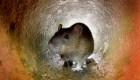 Ratas hambrientas, otra consecuencia de la pandemia