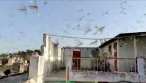 Impactante invasión de langostas en la India
