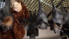 Nueva Hampshire busca caza murciélagos