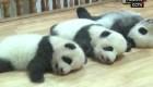 Pandas recién nacidos celebran el Día del Niño en China