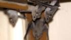 ¿Pueden los seres humanos contagiar a los murciélagos?