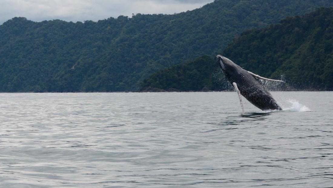 Se adelanta llegada de ballenas jorobadas a Colombia