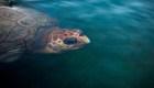 Exitoso rescate de una tortuga gigante