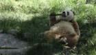 China: el panda que captura la atención por su pelaje y genética