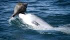 ¿Cómo aprendieron los delfines este truco para atrapar peces?