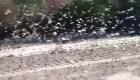 Impactante invasión de langostas en Argentina
