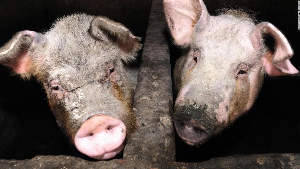 Experto: la nueva gripe porcina, con potencial pandémico
