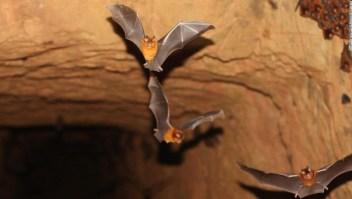 6 razones por las cuales los murciélagos no son enemigos: ayudan a hacer tequila y otros datos sorprendentes que quizás no conozcas