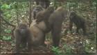 Captan imágenes de los gorilas más raros del mundo en un bosque de Nigeria