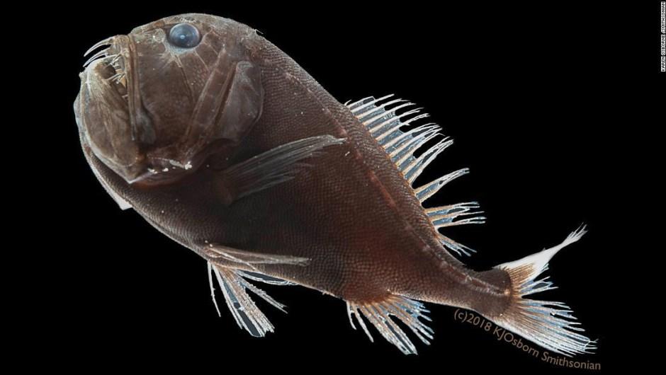 Este pez negro de las profundidades tiene una forma de desaparecer que los científicos acaban de descubrir