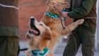 Adiestran perros para detectar a enfermos de covid-19