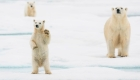 Cambio climático acabaría con osos del Ártico para 2100