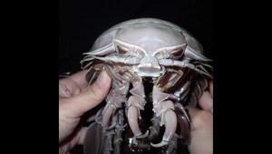 """Descubren """"cucaracha marina gigante"""" en el Índico"""
