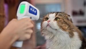 Un gato da positivo por covid-19 en el Reino Unido
