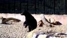Un puente para animales silvestres sí funciona en Utah