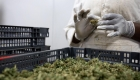 Cámara de Representantes de Estados Unidos vota a favor de proyecto para despenalizar la marihuana