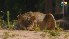 eones del zoológico de Barcelona tienen covid-19