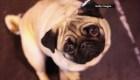 4 perros en México han resultado positivos de covid-19