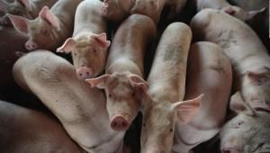 La FDA aprueba para consumo cerdo genéticamente modificado