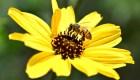 Pesticidas alteran el sueño de las abejas, según estudio