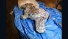 Hallan restos de rinoceronte lanudo milenario