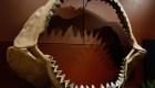 El tiburón bebé extinto era caníbal dentro de su madre