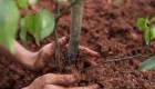 Brasil: 1 árbol por cada muerto de covid-19