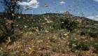 Impactantes imágenes de una invasión de langostas en Kenya