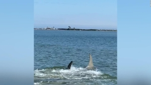 Hombre graba encuentro con un enorme tiburón martillo