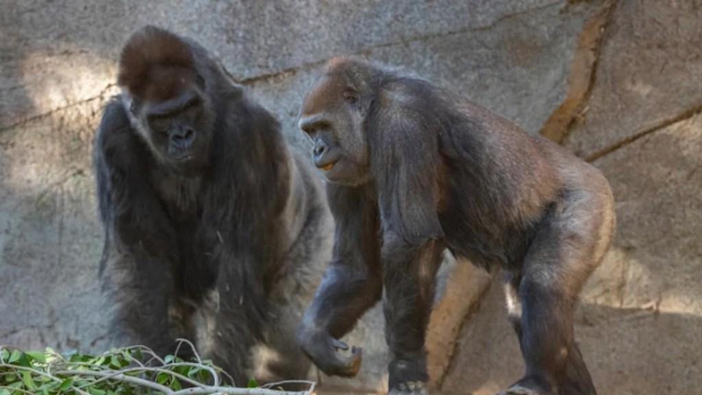 Los gorilas del zoo de San Diego se recuperan de covid-19